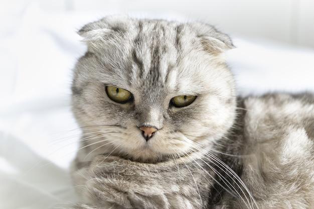 흰 침대에 있는 순종 아름다운 고양이 스코티시 폴드 고양이는 등을 대고 푹신한 모습을 보여줍니다
