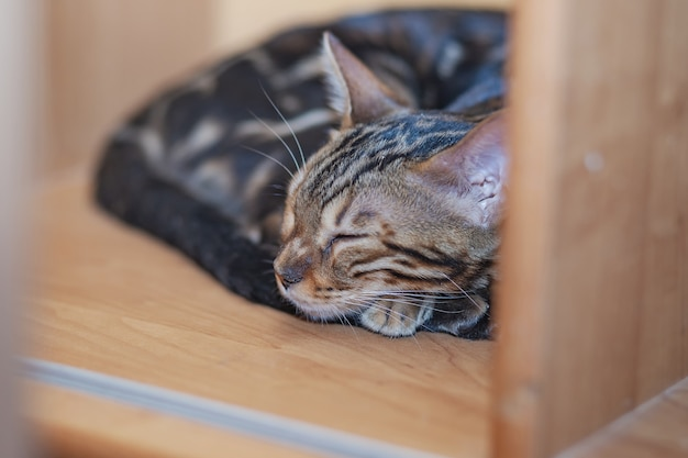 Purebred bengal cat sleeping on a bookcase shelf at home high quality photo