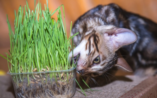 Purebred bengal kitten looks ahead and eats green grass at home for nutrition and vitamins high