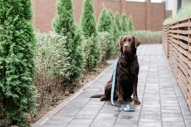 Purebred brown labrador with decorative handmade collar and leash sitting by wooden fence in the rain and waiting for his owner
