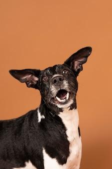 スタジオで愛らしい純血種の犬