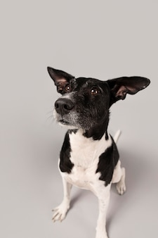 スタジオでかわいい純血種の犬