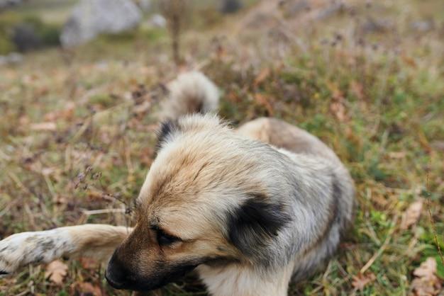Чистокровная собака в горах путешествия природы лежит на траве. фото высокого качества