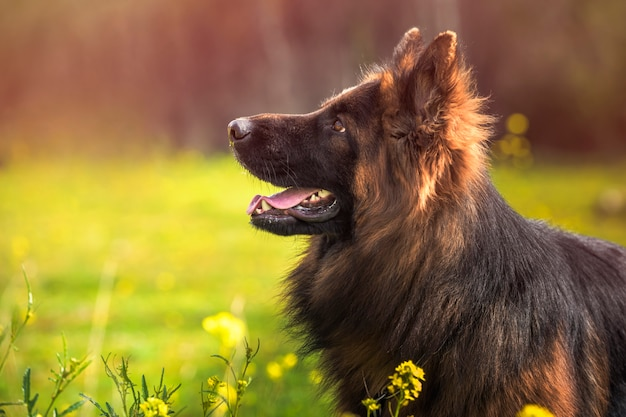 Purebred german shepherd dog looking up in a park full of yellow flowers on a sunny day