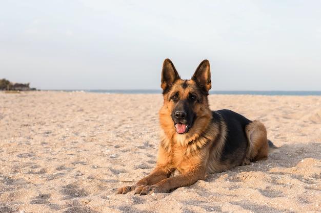 Чистокровная немецкая овчарка, лежа на песке на пляже.