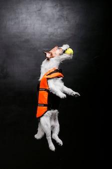 Чистокровный джек рассел играет с мячом в студии