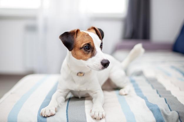 自宅でソファに横たわっている純血種のジャックラッセルテリア犬。幸せな犬はリビングルームで休んでいます。