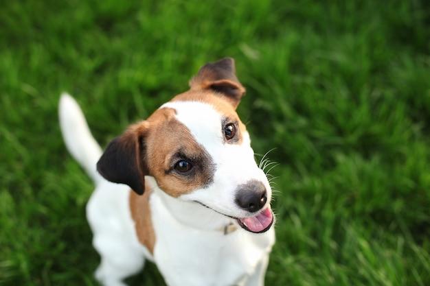 草の自然の屋外で純血種のジャックラッセルテリア犬。公園に座っている幸せな犬のクローズアップの肖像画。ジャックラッセルテリア犬が芝生の上で笑っています。ペット、友情、信頼。 spをコピー