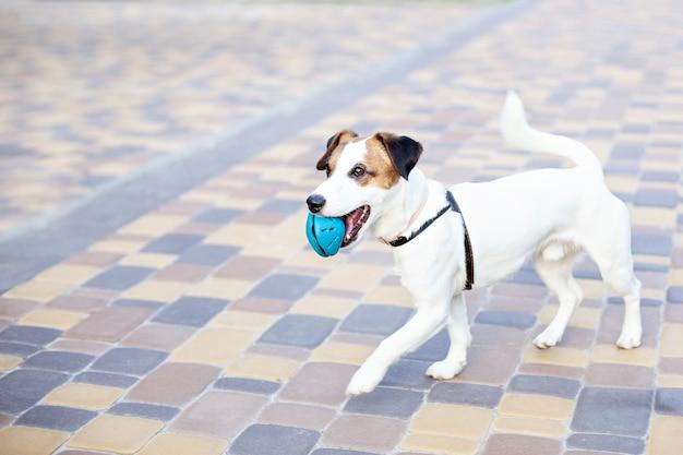 屋外で実行されている純血種のジャックラッセルテリア犬。公園の散歩で幸せな犬はおもちゃで遊ぶ。ペットの信頼と友情の概念。アクティブな犬が路上で遊ぶ。コピースペース