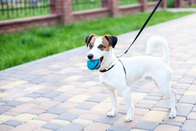 純血種のジャックラッセルテリア犬は、戸外のひもにつながれた公園に立っています。公園で幸せな犬はおもちゃで遊んでいます。犬は口の中でボールを保持します。ペットの概念。コピースペース