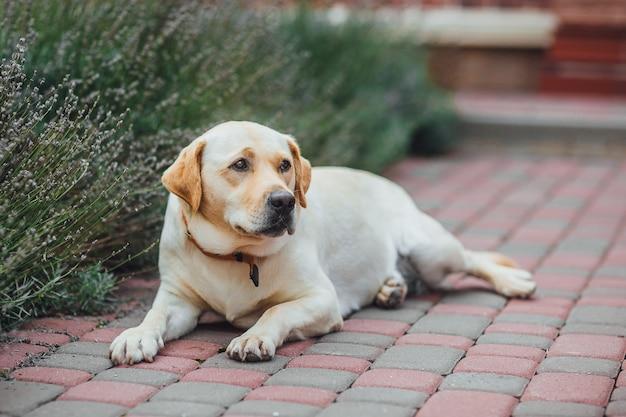 Чистокровный лабрадор ретривер собака лежит в парке