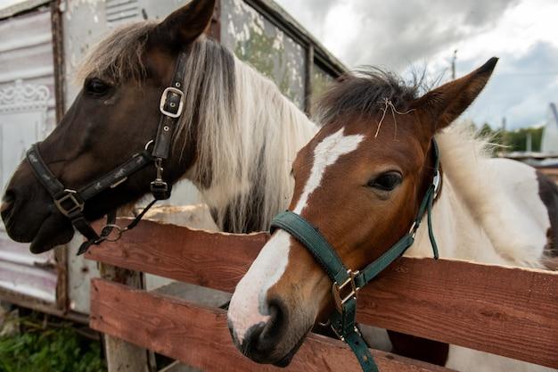 純血種の馬と曇り空の乗馬クラブの領土の木製フェンスで立っている白いたてがみを持つ種馬