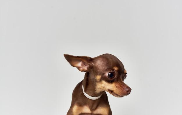Purebred pet chihuahua dog nature mammals pedigree.