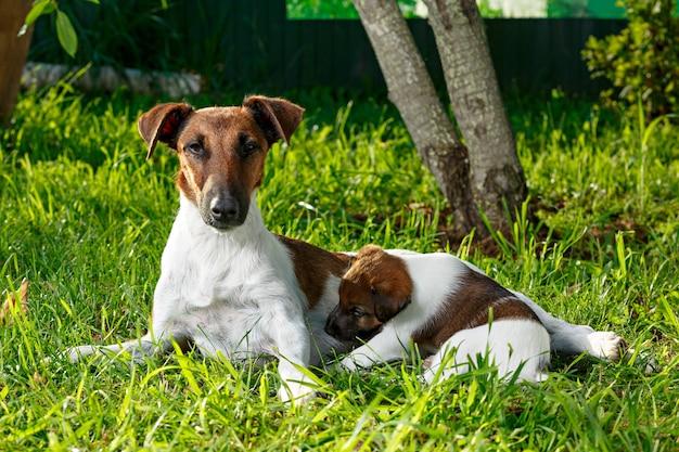純血種の子犬スムースヘアフォックステリア、母乳を飲む