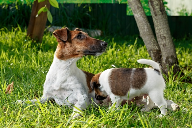 Purebred puppy smooth-haired fox terrier, drinking mother's milk