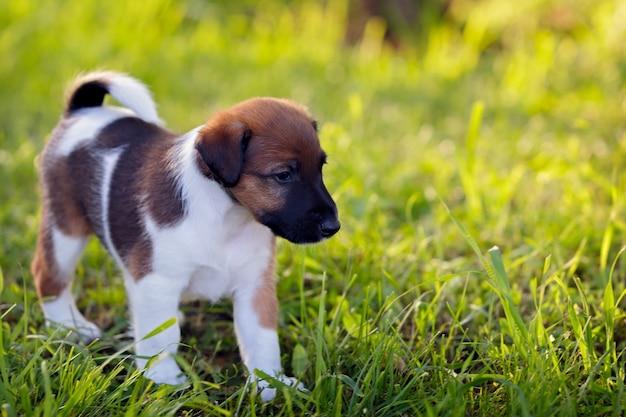 純血種の子犬のスムースヘアフォックステリアは、緑の芝生の上で、屋外の公園を散歩します。猟犬。