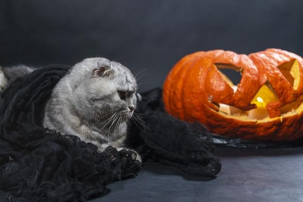 Чистокровный шотландский вислоухий кот в черной вуали сидит на фоне фонаря джека о. хэллоуин с домашними животными. празднование с кошкой. ветеринарная клиника, корм для животных. волшебная красивая кошка с красивыми глазами.