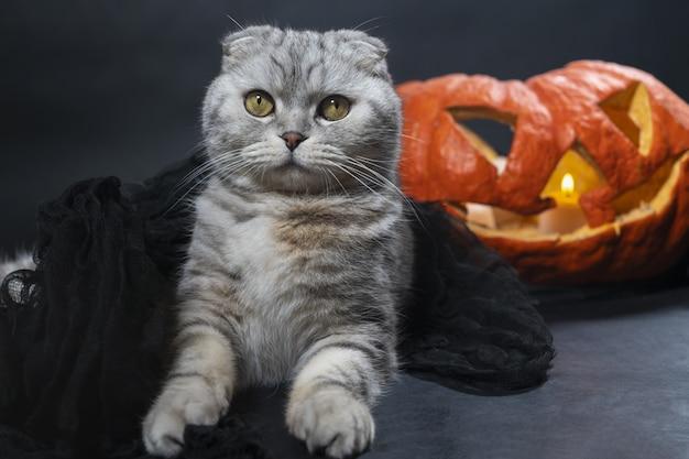 Чистокровный шотландский вислоухий кот в черной вуали сидит на фоне хэллоуина с домашними животными