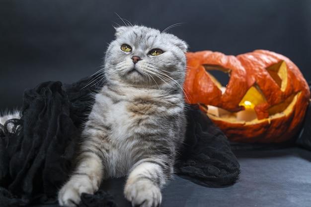 Чистокровный шотландский вислоухий кот в черной вуали сидит на фоне хэллоуина джек о фонарь с домашними животными