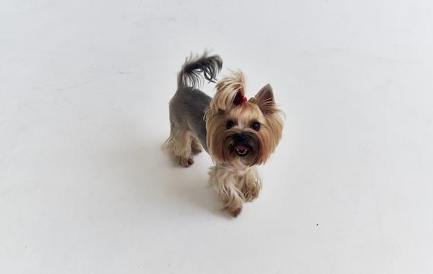 Чистокровная маленькая собачка йоркширского терьера с белым уходом за питомцем.