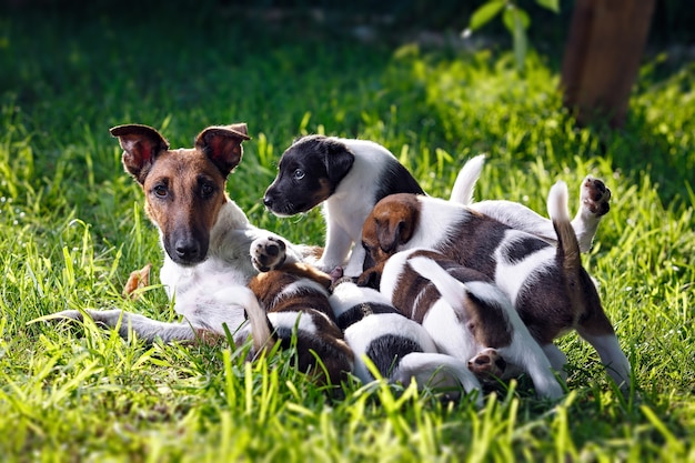 A purebred smooth-haired fox terrier, feeds her pups. the family dogs in the park outdoors on green grass. hunting dog.