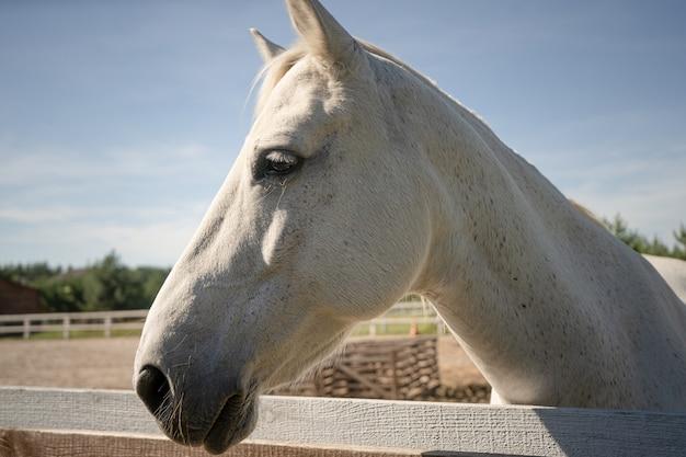 屋外の純血種の白い馬。の背景に銃口の悲しい表情を持つ牝馬のプロファイル
