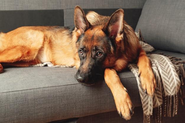 순종 젊은 독일 셰퍼드 개가 침실에 소파에 웅크 리고 누워. 애완 동물의 초상화.