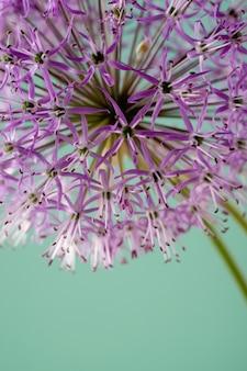 ミントの背景に分離された紫色のネギの花のクローズアップ