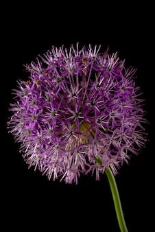 黒の背景に分離された紫色のネギの花