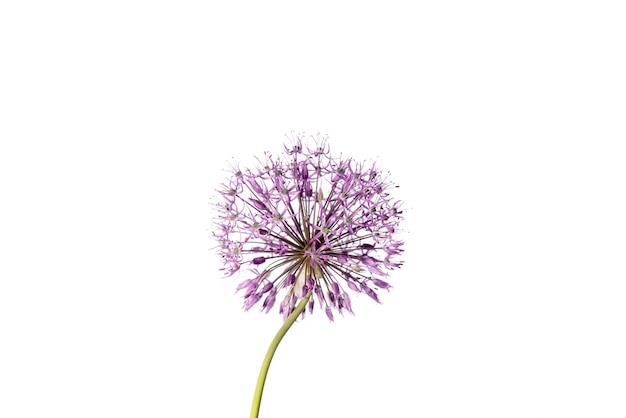 白い背景に分離された紫色のネギの花