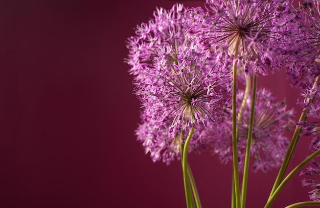 赤い背景に分離された紫色のネギの花