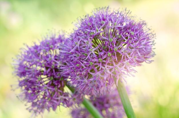 보라색 부추속 루시 볼 꽃밭. 다년생 보라색 식물이 있는 봄 정원 디자인.