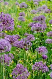 Purple allium lucy ball flowers field