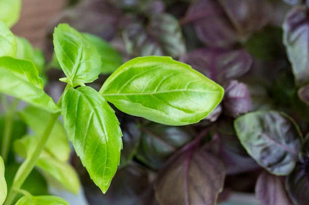 紫と緑のバシリックプランテーション。庭で育つ新鮮な有機緑と紫のバジルたくさんの新鮮な緑と紫のバジル植物の葉の上面図緑、緑の庭の自然有機食品