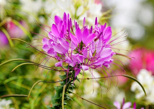 紫とピンクのジャワ茶、ボケ自然の背景にキドニー茶
