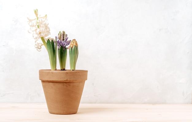 Фиолетовый и белый гиацинт в садовом керамическом горшке
