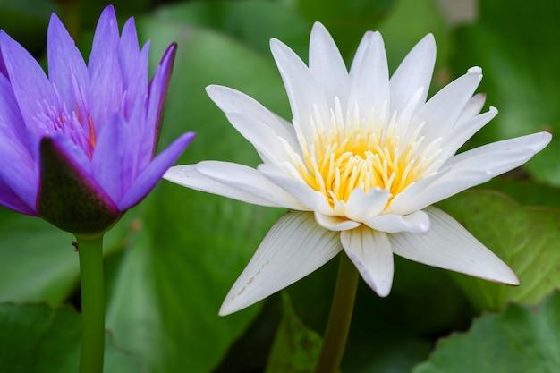 Фиолетовый и белый цветок лотоса, цветущий на пруду с зелеными листьями вокруг.