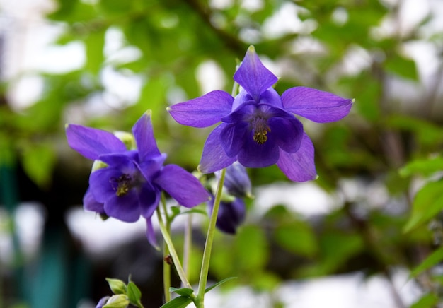春の庭の紫色のオダマキの花