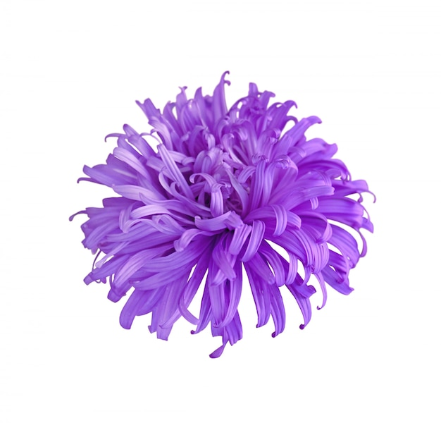 Purple aster on a white background