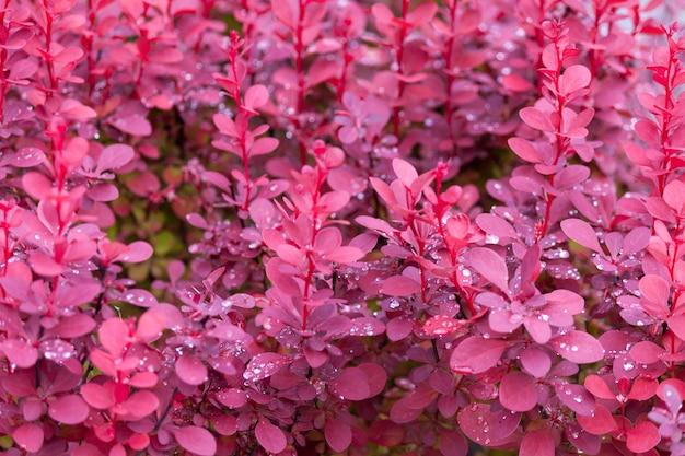 Фиолетовая предпосылка куста барбариса после дождя.