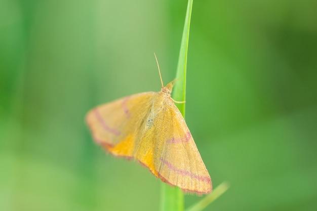 보라색 막대 노란색 나방 - 유럽 초원과 초원의 아름다운 색깔의 나방인 lythria cruentaria