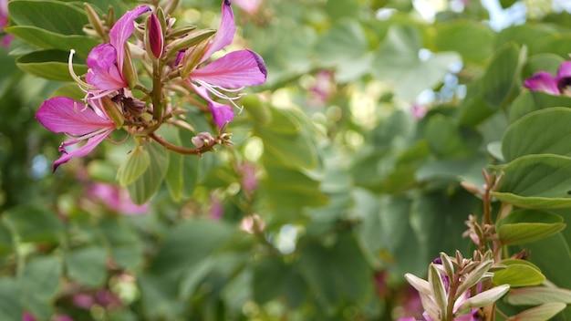 紫色のバウヒニア蘭の木の花、カリフォルニア州米国。バイオレットエキゾチックな植物のトロピカルブルーム