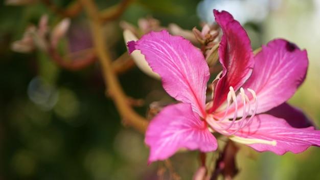 Фиолетовый цветок орхидеи баухинии, калифорния, сша. фиолетовый экзотический тропический цвет, мягкий фокус атмосферы джунглей тропического леса. яркие темно-пурпурные натуральные ботанические цветочные нежные лепестки крупным планом