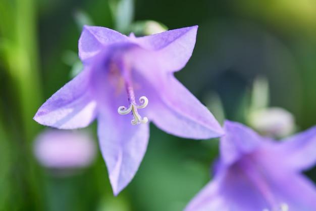 Фиолетовый колокольчик крупным планом на зелени в саду (колокольчик пощарскяна). горизонтальная макросъемка