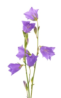 Purple bell flower isolated
