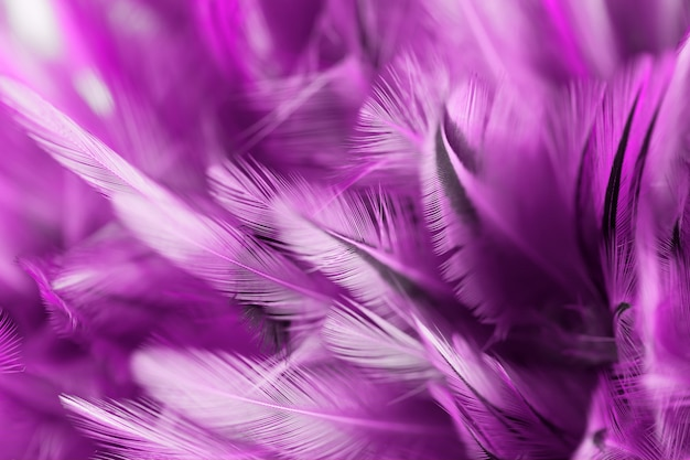 Purple bird and chicken feathers in soft and blur style for the background