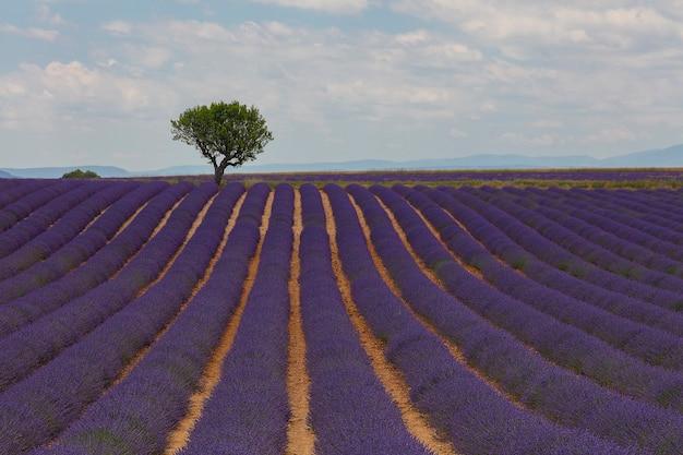 美しい風光明媚な空と地平線上の木と日中の紫色に咲くラベンダー畑