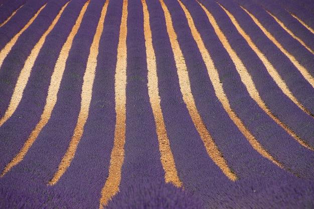 紫に咲くラベンダー畑