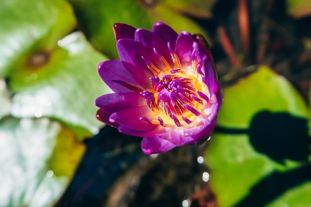 Purple blooming lotus flower growing in pond
