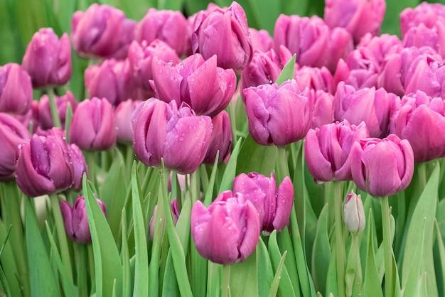 緑の葉に紫色に咲くチューリップ。